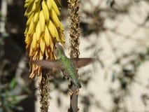 Kolibri, der von den Aloe-Blumen trinkt Stockfotos