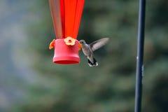 Kolibri, der von der Zufuhr einzieht Lizenzfreies Stockbild