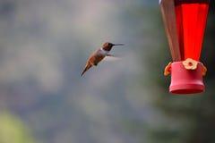 Kolibri, der von der Zufuhr einzieht Stockfotos