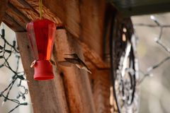 Kolibri, der zur Zufuhr fliegt Stockbild