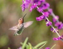 Kolibri för Anna ` s i flykten med purpurfärgade blommor Royaltyfri Fotografi