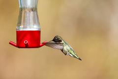 Kolibri för flygAnna ` s royaltyfri bild