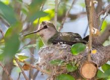 Kolibri för kvinnligAnna ` s arkivbilder