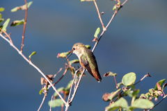 Kolibri in F. KR. Royaltyfri Foto