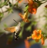Kolibri Falkemotte Stockbilder