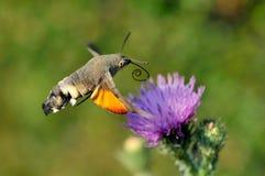 Kolibri Falkemotte (Macr Stockfotos