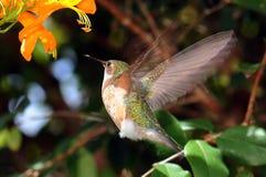 Kolibri-Flügel stockbilder