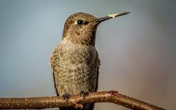 Kolibri gehockt auf einem Zweig Stockfotografie