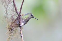 Kolibri gesetzt auf einem Zweig Stockbilder