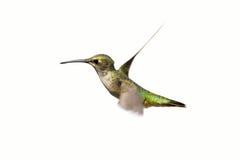 Kolibri, getrennt. stockbilder