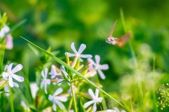 Kolibri Hawk Moth Stockbild