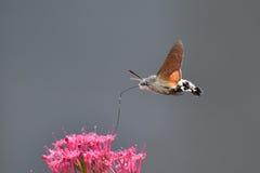 Kolibri Hawkmoth Stockbild