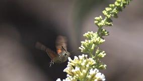 Kolibri Hawkmoth, macroglossumstellatarum, vuxen människa i flykten som viftar med vingar och matar på Buddleja eller sommarlila arkivfilmer