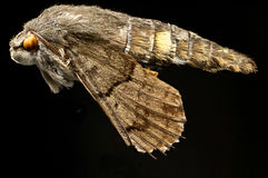 Kolibri hawkmoth Makro Lizenzfreies Stockbild