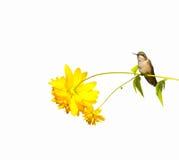 Kolibri hockte, getrennt. stockfotografie