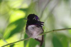 Kolibri i museet för Arizona Sonoraöken Fotografering för Bildbyråer
