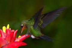 Kolibri im dunkelgrünen Wald, Kolibri Grün-krönte glänzendes, Heliodoxa-jacula, grüner Vogel von Costa Rica-Fliegen nahe bei lizenzfreies stockbild
