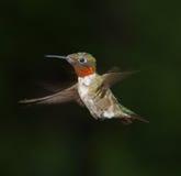 Kolibri im Flug Lizenzfreie Stockbilder