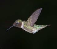 Kolibri im Flug Lizenzfreie Stockfotografie