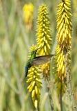 Kolibri im Flug Stockfotos