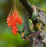 Kolibri im Flug an einer Blume ecuador Ein tropischer Wald Stockbild