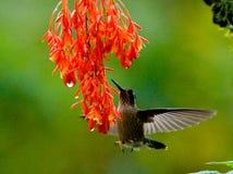 Kolibri im Flug an einer Blume ecuador Ein tropischer Wald Lizenzfreie Stockbilder