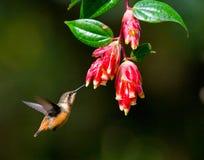 Kolibri im Flug an einer Blume ecuador Ein tropischer Wald Stockfoto
