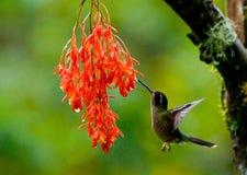 Kolibri im Flug an einer Blume ecuador Ein tropischer Wald Stockbilder