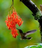 Kolibri im Flug an einer Blume ecuador Ein tropischer Wald Lizenzfreie Stockfotos
