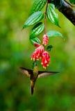Kolibri im Flug an einer Blume ecuador Ein tropischer Wald Lizenzfreies Stockfoto