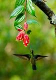 Kolibri im Flug an einer Blume ecuador Ein tropischer Wald Lizenzfreies Stockbild