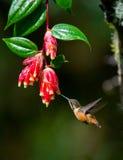 Kolibri im Flug an einer Blume ecuador Ein tropischer Wald Stockfotos