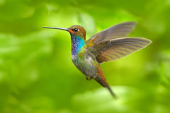 Kolibri im Flug, grüner Waldnaturlebensraum, Weiß-angebundenes Hillstar, Urochroa-bougueri, Montezuma, Kolumbien lizenzfreie stockfotos