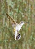 Kolibri im Garten Lizenzfreie Stockfotos