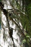 Kolibri im Nest Lizenzfreies Stockfoto