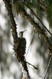 Kolibri im Nest Stockfotografie