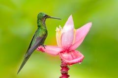 Kolibri-Kaiserin glänzend, Heliodoxa-imperatrix, sitzend auf schöner rosa Blume, Tatama, Kolumbien Szene der wild lebenden Tiere  lizenzfreie stockbilder