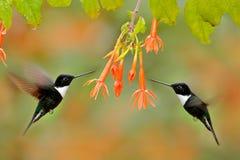 Kolibri med blomman Försedd med krage Inca, Coeligena torquata som är mörk - grönt svartvitt kolibriflyg bredvid den härliga apel royaltyfri bild
