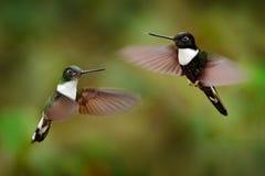 Kolibri med blomman Försedd med krage Inca, Coeligena torquata som är mörk - grönt svartvitt kolibriflyg bredvid den härliga apel royaltyfria bilder