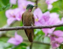 Kolibri med härliga blommor Fotografering för Bildbyråer