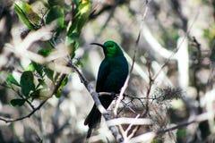 Kolibri med ljust - gröna färger som sitter på en filial royaltyfria bilder
