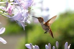 Kolibri mit Blume lizenzfreies stockbild