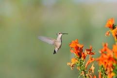 Kolibri mit orange Blumen Stockfotos
