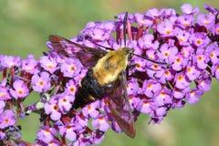 Kolibri-Motte Stockbild