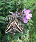 Kolibri-Motte oder Hemaris SP Lizenzfreie Stockfotos