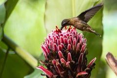 Kolibri in Nicaragua Stockfotografie