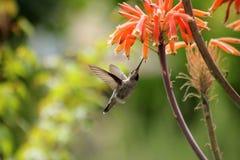 Kolibri och aloe arkivfoton