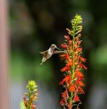Kolibri och huvudsakliga blommor arkivfoto