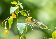 Kolibri och Jewelweed Royaltyfri Foto