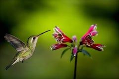 Kolibri omkring som ska matas Arkivfoton